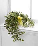Solace Ivy Planter
